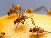 Nhà đẹp - Mẹo tự nhiên đuổi ruồi giấm tránh xa hoa quả trong nhà
