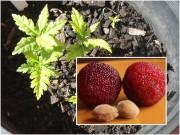 Nhà đẹp - Thanh mai trồng chậu tự lớn, chẳng cần chăm