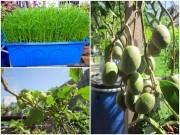 Nhà đẹp - TP.HCM: Trồng rau sạch tại nhà từ rau thừa, phân cá