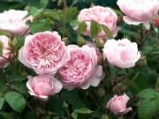 Nhà đẹp - Nên trồng hoa hồng ta hay hoa hồng ngoại tại nhà?