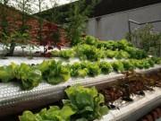 Mua sắm - Giá cả - Người dân TP.Vinh ồ ạt đầu tư hệ thống trồng rau sạch
