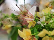 Tin tức - Ngắm cây hoa bún có 2 màu hoa ở Hà Nội