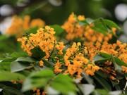 Tin tức - Ngắm hoa sưa vàng đẹp nở rộ ở Hà Nội