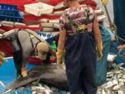 Tin tức - Cá mặt trăng quý hiếm lại mắc lưới ngư dân Nghệ An