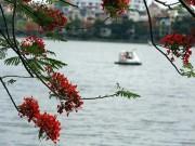 Hà Nội mùa hoa phượng nở đỏ rực trời