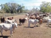 Mua sắm - Giá cả - Hết thời ào ào nhập bò Úc về Việt Nam