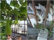 Nhà đẹp - Gái 9X trồng rau tốt um như… phun thuốc kích thích