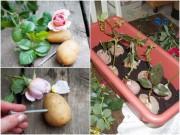 Nhà đẹp - Tuyệt chiêu trồng hồng bằng khoai tây lên hoa rực rỡ