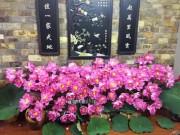 Nhà đẹp - Bí quyết cắm và giữ sen tươi lâu của những người yêu hoa