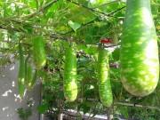 Nhà đẹp - Vườn rau, củ, quả tốt um kiểu