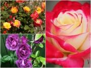 Nhà đẹp - Những loài hoa hồng