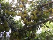 Nhà đẹp - Kinh ngạc cây mít 500 trái mọc trĩu trịt từ gốc đến ngọn