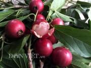 Nhà đẹp - Ngon lạ trái quăng rừng chín lúc lỉu nhuộm đỏ cành