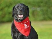 Những chú chó hiến máu cứu hàng trăm đồng loại