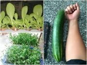 Nhà đẹp - Vườn ban công 1.5m2 cho rau mơn mởn, dưa chuột 0.7 kg