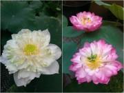 Nhà đẹp - Bà nội mát tay chia sẻ bí quyết trồng sen khủng tại nhà