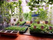 Nhà đẹp - Vườn rau sân thượng mát mắt với rèm treo mồng tơi