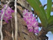 Nhà đẹp - Bí quyết trồng lan Bạch vĩ hổ ra hoa đẹp như ý của tỷ phú Hà thành