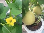 Mẹo vặt gia đình - Cách trồng dưa lưới không cần đất lúc lỉu cả giàn