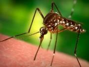 """Tin tức - Cảnh báo muỗi """"nhà vua"""" gây bệnh sốt xuất huyết"""