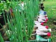 Nhà đẹp - Ba cách trồng hành lá tại gia cho cả nhà ăn chẳng hết