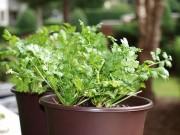 Nhà đẹp - Trồng cây mua một lần ăn mãi (kỳ 5): 20 ngày trồng rau mùi