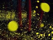 Ảnh đẹp Eva - Rừng đom đóm phát sáng tuyệt đẹp ở Nhật Bản