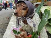 Tin tức - Chú chó bán hàng có phong cách thời trang táo bạo trở nên nổi tiếng trên mạng