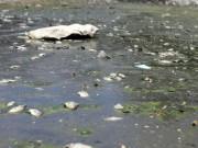Tin tức - Hà Nội: Cá chết trắng hồ Ba Mẫu