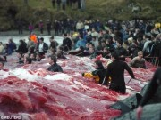 Tin tức - Thảm sát 120 cá voi ở Đan Mạch, cả vùng biển đỏ máu