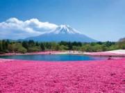 Những vườn hoa lộng lẫy 'vạn người mê' quanh xứ sở hoa anh đào