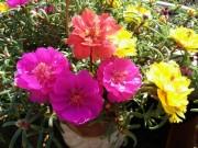 Nhà đẹp - Thanh Hóa: Rực rỡ sắc màu hoa mười giờ Mỹ trên nóc chung cư