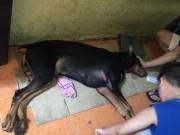 Tin tức - Chú chó bị đâm được chủ nhân ôm vào bệnh viện Quân y đã chết sáng nay