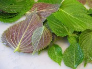 Sức khỏe - Ngỡ ngàng công hiệu chữa bệnh từ cây tía tô