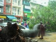Tin tức - Cổ thụ lại bật gốc, đè người đi đường giữa Sài Gòn