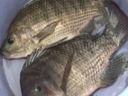 Tin tức - Thực hư chuyện cá rô phi nuôi bằng thuốc trừ sâu