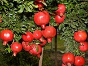 Nhà đẹp - Top 9 loại cây ăn quả dễ trồng ở sân vườn nhà phố