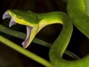 Sức khỏe - Bị rắn lục đuôi đỏ cắn vào lưỡi khi đang nhậu