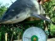 Tin tức - Lão nông bắt được cá mập trên... sông Cổ Chiên