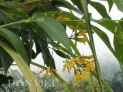 Nhà đẹp - Cảnh giác với sắc hoa vàng quyến rũ của cây