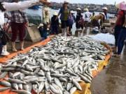 Tin tức - Gần 50 tấn cá lồng chết bất thường ở Thanh Hóa