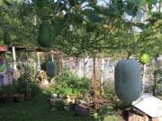 Nhà đẹp - Mẹ Việt mách nhỏ cách trồng bí đao trong thùng sai trĩu quả