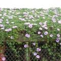 Nhà đẹp - Hoa bìm bịp rực sắc tím vùng quê