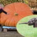 Tin tức - Chiêm ngưỡng quả bí ngô Halloween khổng lồ nặng 464kg