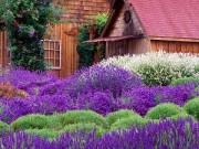 Nhà đẹp - Học cách trồng oải hương tím ngát vườn nhà