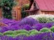 Học cách trồng oải hương tím ngát vườn nhà