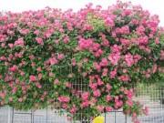 Cây cảnh - Vườn - Hồng leo đắt đỏ chinh phục giới yêu hoa