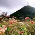 Tin tức - Ngắm đồi hoa tam giác mạch đẹp như mơ ở Hà Giang