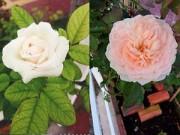 Nhà đẹp - Vườn nhỏ ngập tràn 20 loài hoa ở Kiên Giang