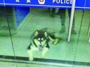 Tin tức - TQ: Chú chó lạc chủ đến cầu cứu cảnh sát